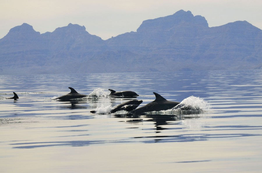 Mexico, Baja California, Bottlenose dolphins (Tursiops) and Sierra La Giganta