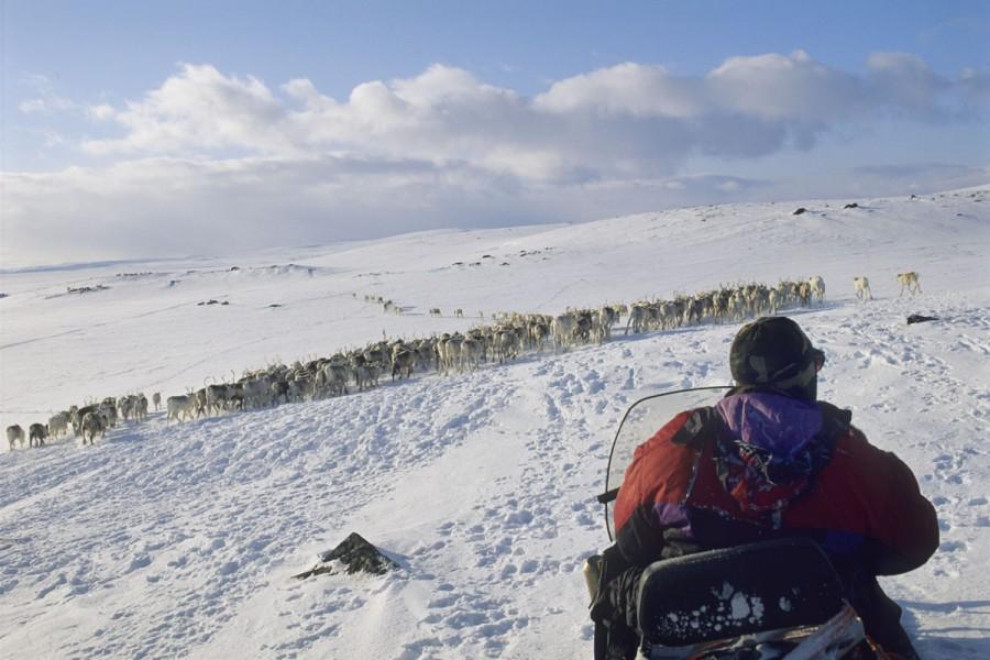 Norway, Finnmark, Spring reindeer migration